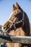 Close-up de uma cerca bonita da cerca do cavalo de sela do puro-sangue no na Imagem de Stock Royalty Free
