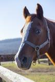 Close-up de uma cerca da cerca do cavalo de sela do puro-sangue Imagem de Stock Royalty Free