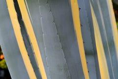Close-up de uma cor cinzento-verde estrutural longa com listras e as folhas amarelas da agave da planta referente à cultura norte imagens de stock royalty free