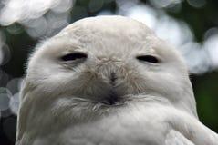 Close-up de uma coruja da neve foto de stock royalty free