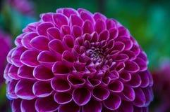 Close-up de uma dália textured, cor-de-rosa Imagens de Stock