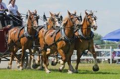 Close up de uma equipe do engate de cavalo quatro Imagens de Stock