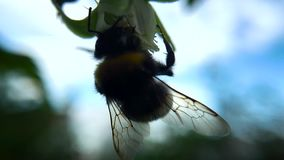 Close-up de uma espiga de milho O milho maduro cresce no campo Dança louca video estoque