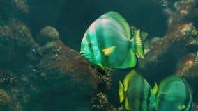 Close up de uma esquatina branca grande com listras pretas e as aletas amarelas, natação enorme na água, specie tropical do anima filme