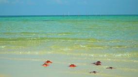 Close up de uma estrela do mar vermelha que encontra-se na praia estrela do mar que encontra-se em uma praia tropical Mentira ver vídeos de arquivo