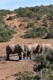 Close up de uma família bonita do elefante em um waterhole em Addo Elephant Park em Colchester, África do Sul Fotos de Stock Royalty Free