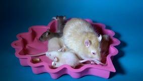 Close-up de uma família dos ratos, uma mamã do albino e seus ratos pretos e bege pequenos do bebê que se sentam em uma placa cor- vídeos de arquivo