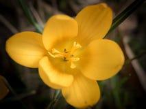 Close up de uma flor amarela do açafrão no jardim Fotos de Stock Royalty Free