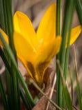 Close up de uma flor amarela do açafrão no jardim Imagens de Stock Royalty Free