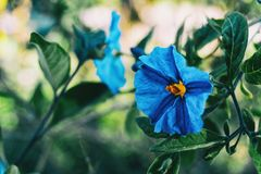 Close-up de uma flor azul do laciniatum do solanum fotografia de stock