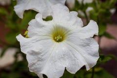 Close-up de uma flor branca Fotografia de Stock