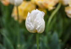 Close-up de uma flor branca aproximadamente à flor Fotografia de Stock Royalty Free