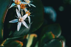 Close-up de uma flor branca do álbum do sedum foto de stock royalty free