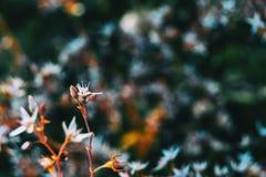 Close-up de uma flor branca e de dois botões do álbum do sedum no selvagem imagem de stock