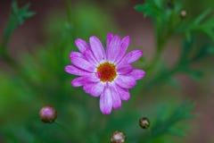 Close-up de uma flor cor-de-rosa Fotos de Stock Royalty Free
