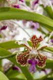 Close-up de uma flor da orquídea de Vanda Tricolor fotos de stock royalty free