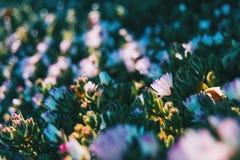 Close-up de uma flor do cooperi do delosperma foto de stock royalty free
