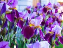 Close-up de uma flor do germanica da íris da íris farpada A flor seja imagens de stock royalty free