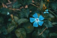 Close-up de uma flor isolada e azul do major do vinca fotografia de stock