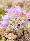 Close up de uma flor de pasque selvagem na primavera Imagens de Stock Royalty Free