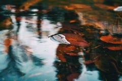 Close-up de uma folha vermelha de uma planta aquática em um lago fotografia de stock royalty free