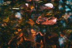 Close-up de uma folha vermelha de uma planta aquática em um lago imagens de stock