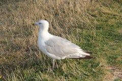 Close-up de uma gaivota de arenques Foto de Stock Royalty Free