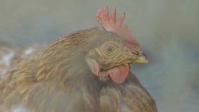 Close-up de uma galinha video estoque
