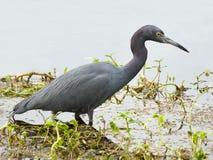 Close up de uma garça-real azul pequena que vadeia no raso de um lago Florida fotos de stock
