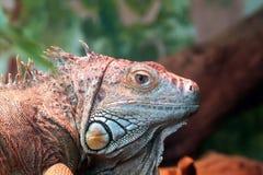 Close up de uma iguana que descansa em uma árvore Imagens de Stock Royalty Free
