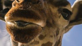 Close-up de uma língua do ` s do girafa imagem de stock royalty free
