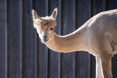 Close up de uma Lama Imagem de Stock Royalty Free