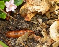 Close-up de uma larva marrom da borboleta na sujeira Imagem de Stock Royalty Free