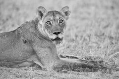 Close-up de uma leoa que encontra-se para baixo ao resto Kalahari macio sa Foto de Stock Royalty Free