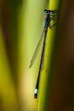 Close up de uma libélula imagens de stock