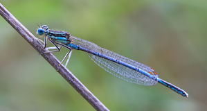 Close-up de uma libélula Imagens de Stock Royalty Free