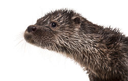 Close-up de uma lontra europeia, lutra do Lutra, isolado Imagens de Stock