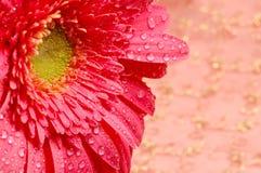Close-up de uma margarida cor-de-rosa em um fundo dourado de seda foto de stock royalty free