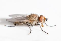 Close up de uma mosca com olhos marrons Fotografia de Stock