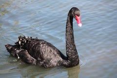 Close-up de uma natação da cisne preta em um rio fotografia de stock