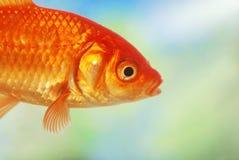 Close up de uma natação dos peixes do ouro Fotos de Stock Royalty Free