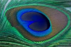 Close up de uma pena bonita do pavão Fotos de Stock Royalty Free