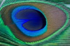 Close up de uma pena bonita do pavão Imagem de Stock Royalty Free