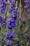 Close up de uma planta da alfazema fotografia de stock royalty free