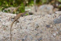 Close-up de uma posi??o do lagarto na pedra e do fundo obscuro da natureza com luz do por do sol imagens de stock royalty free