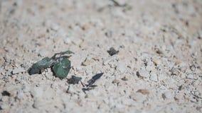 Close-up de uma rã pequena que salte na terra rochosa seca video estoque
