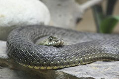 Close up de uma serpente imagens de stock royalty free
