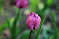 Close-up de uma tulipa imagem de stock