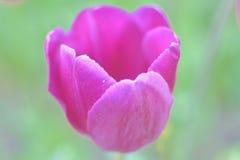 Close-up de uma tulipa cor-de-rosa contra o fundo verde em um dia de mola ensolarado foto de stock