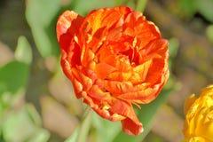 Close-up de uma tulipa ex?tica vermelha em um dia ensolarado em um jardim foto de stock
